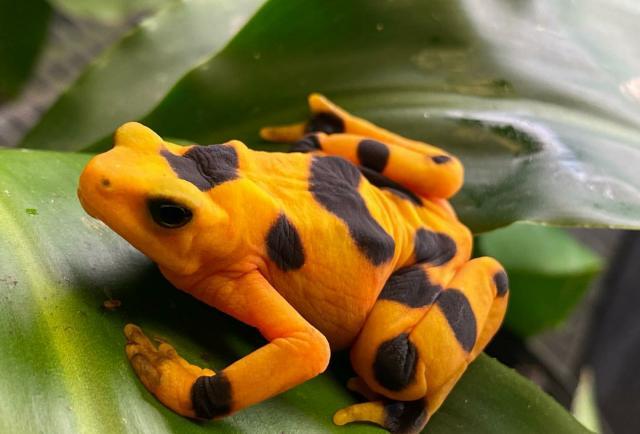 Sin apoyo del gobierno, la conservación de la rana dorada está muriendo