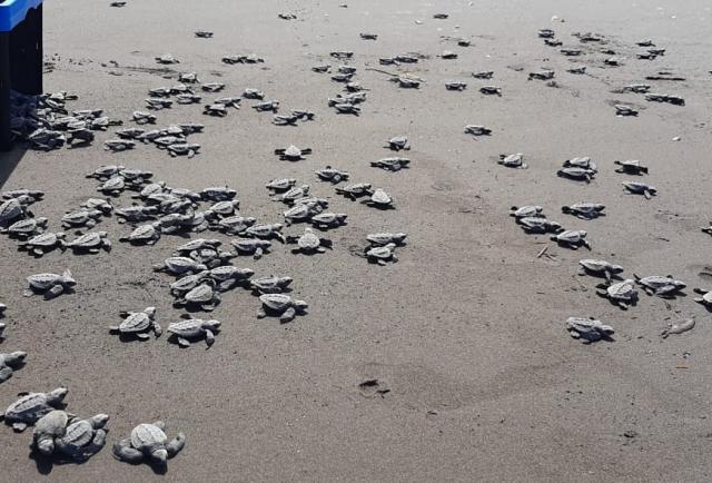 MiAmbiente ha liberado más de 1.700 crías de tortugas en las playas de Colón