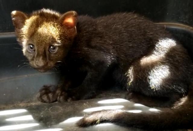 MiAmbiente atiende caso de yaguarundi y mono aullador en Chiriquí