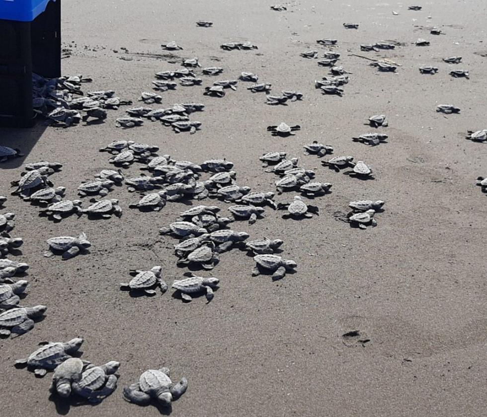 Protegen a las tortugas en las costas de Colón