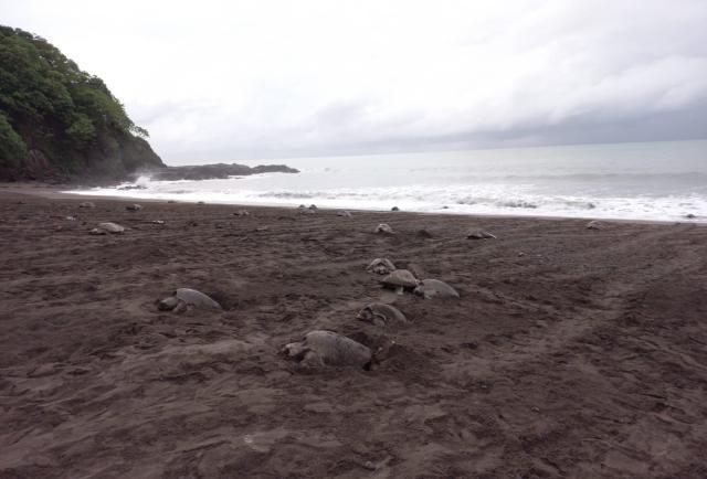Reserva de la playa de la Marinera, la maternidad de las tortugas golfina