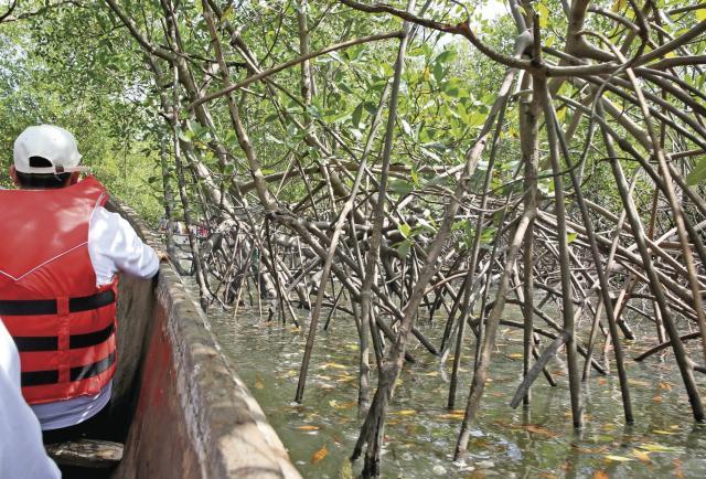 """Se recuperan manglares en un sector de la Bahía de Panamá tras """"muerte masiva"""""""